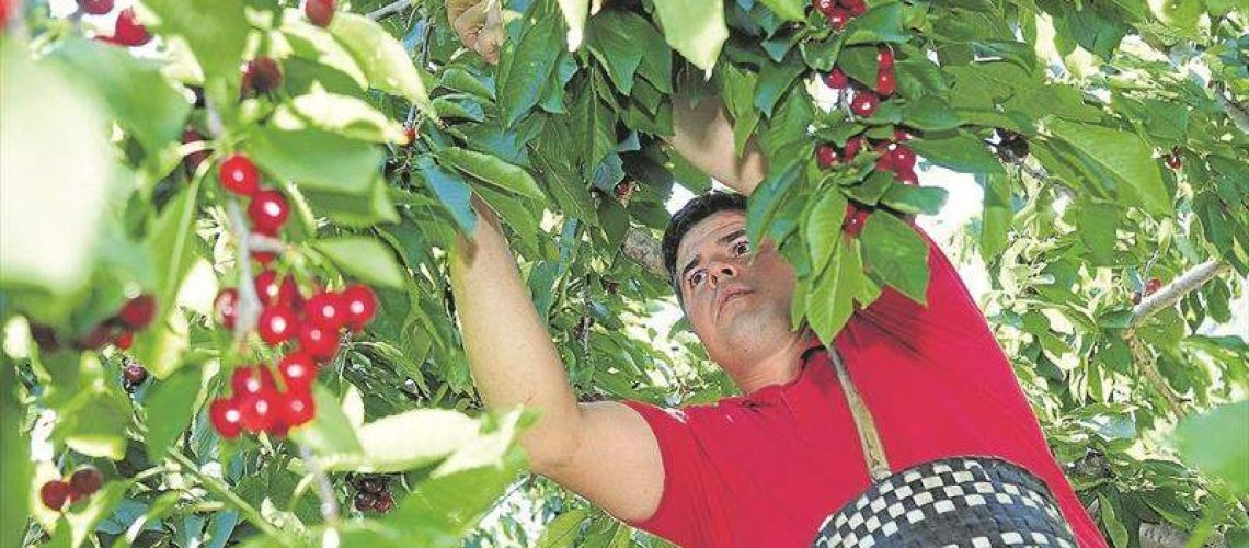 Recogida cerezas